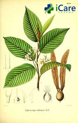 Gurjun essential oil is extracted from Gurjun tree derived from the oil family tree